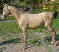 American-Saddle-Horse