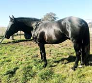 Australian-Stock-Horse