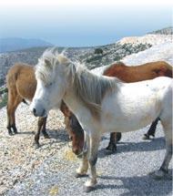 percheron pferde züchter